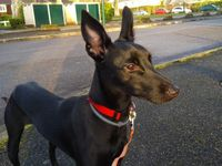 Chiot levrier Podenco robe noire, de petite taille à l'adoption souys contrat associatif sos chiens galgos