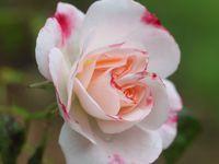 Rose Marie Viaud  -  Rosenstadt  -  Rosy Cushion