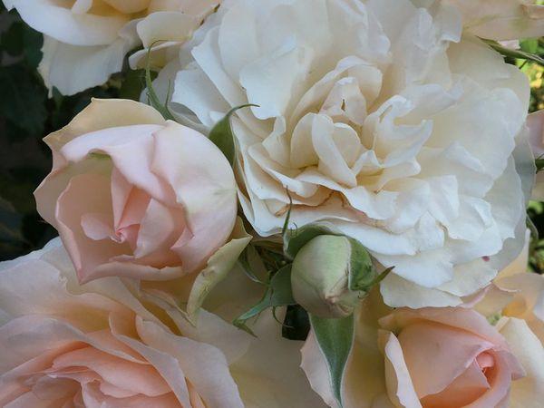 Magnifiques roses