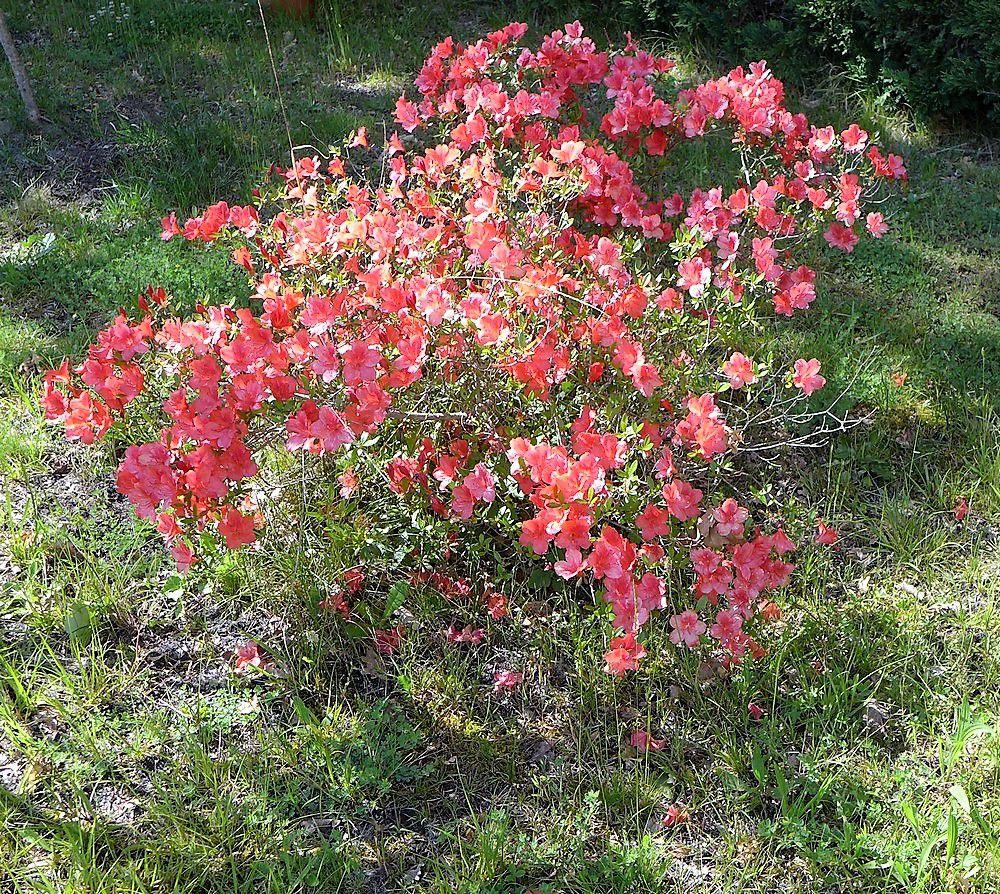 Moi, j'aime les rhododendrons et les azalées !