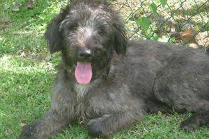 KANOYE - Mâle - 6 mois - croisé caniche - adopté