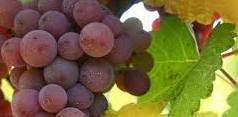 #Pinot Gris Producers New York Vineyards