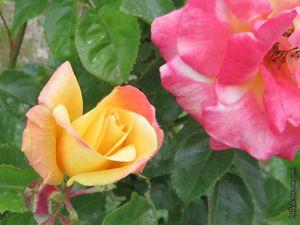 Un autre rosier bicolore