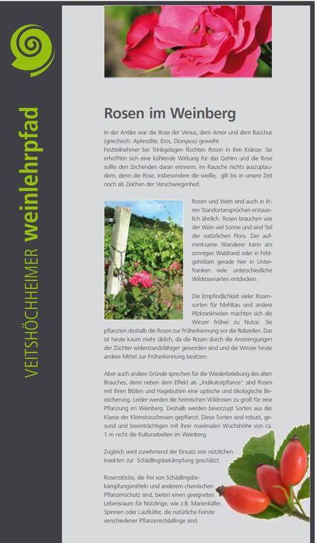 """Edelmanns Kollegin Karen Heußner schließlich erarbeitete den Text der Tafeln über den Weinbergs-Heiligen Urban (Tafel 13) und """"Rosen im Weinberg"""" (Tafel 14). Letztere dokumentiert einen alten Brauch, nach dem Rosen neben ihrem Effekt als """"Indikatorpflanze"""" mit ihren Blüten und Hagebutten auch zu einer optischen und ökologischen Bereicherung im Weinberg sorgen, wie dies neben der Tafel augenscheinlich ist."""