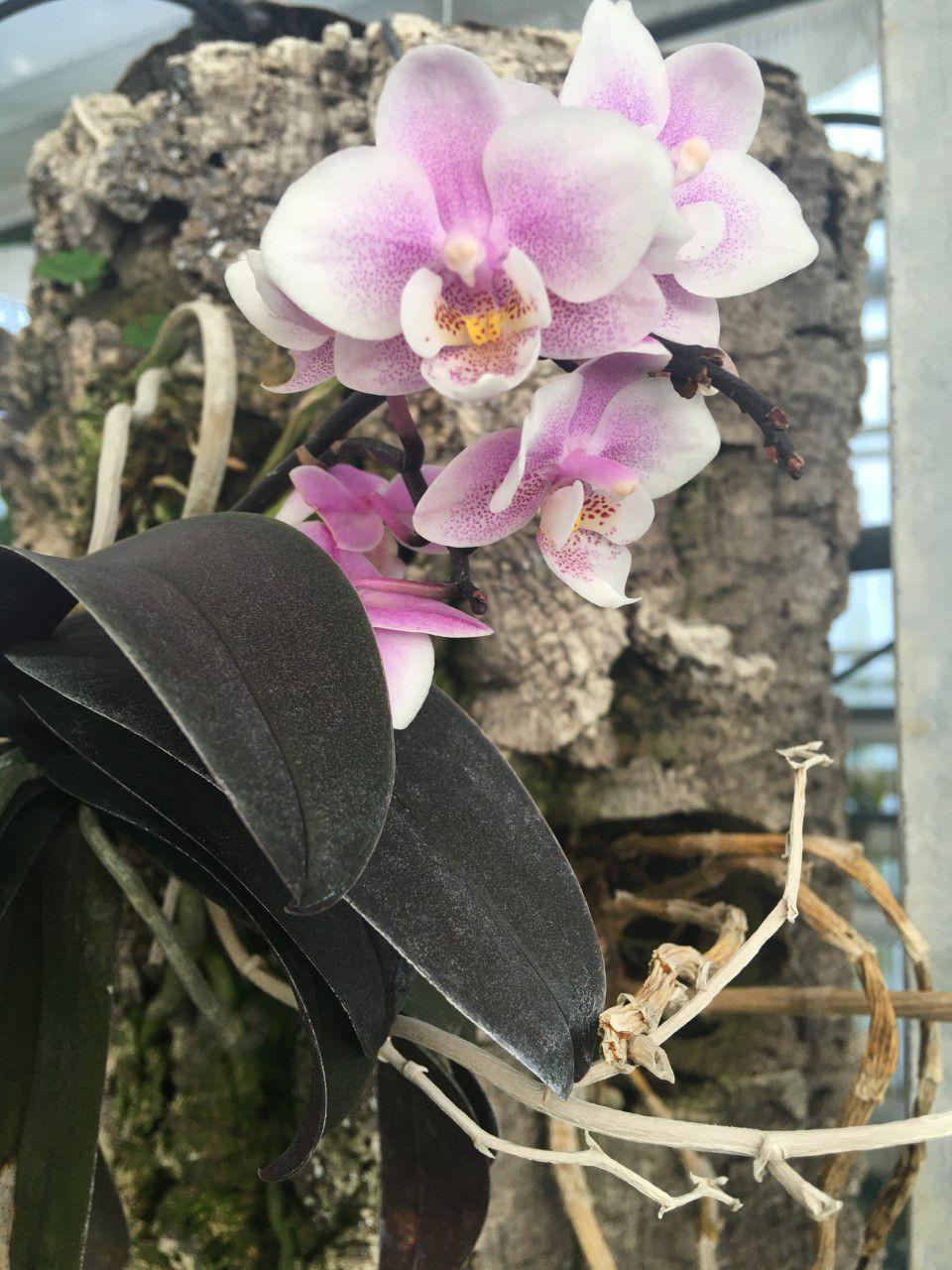 SAINT-JORY - LA SERRE AUX ORCHIDEES BOFFO FRERES