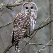 Barred Owl Overview, All About Birds, Cornell Lab of Ornithology