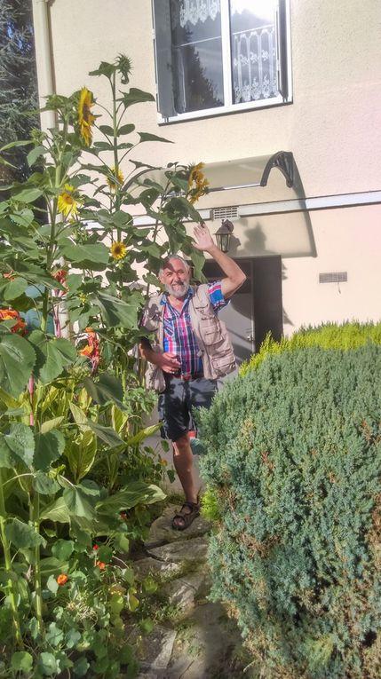 Tournesols géants de mon jardin...