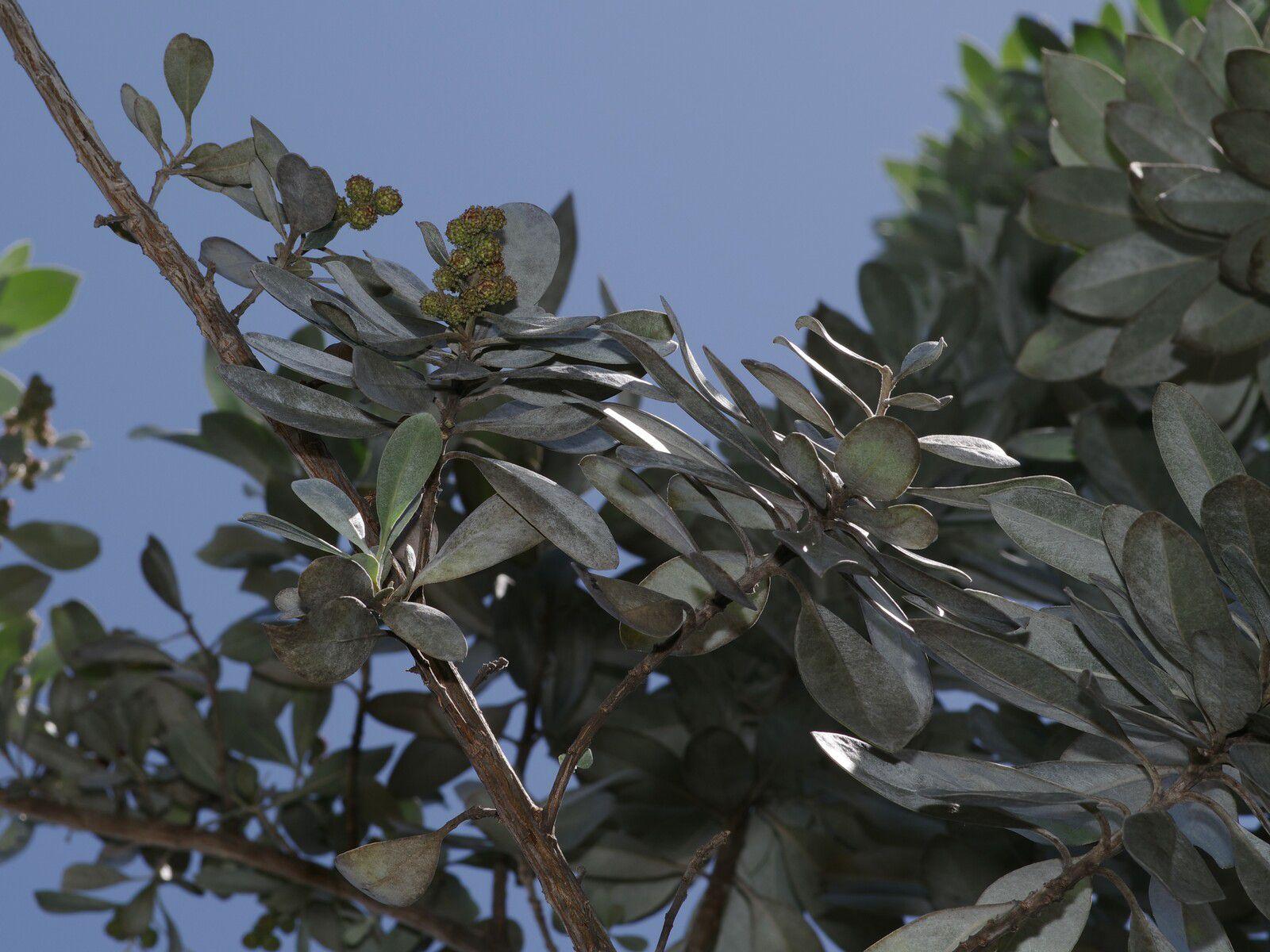 Conocarpus erectus f. sericeus