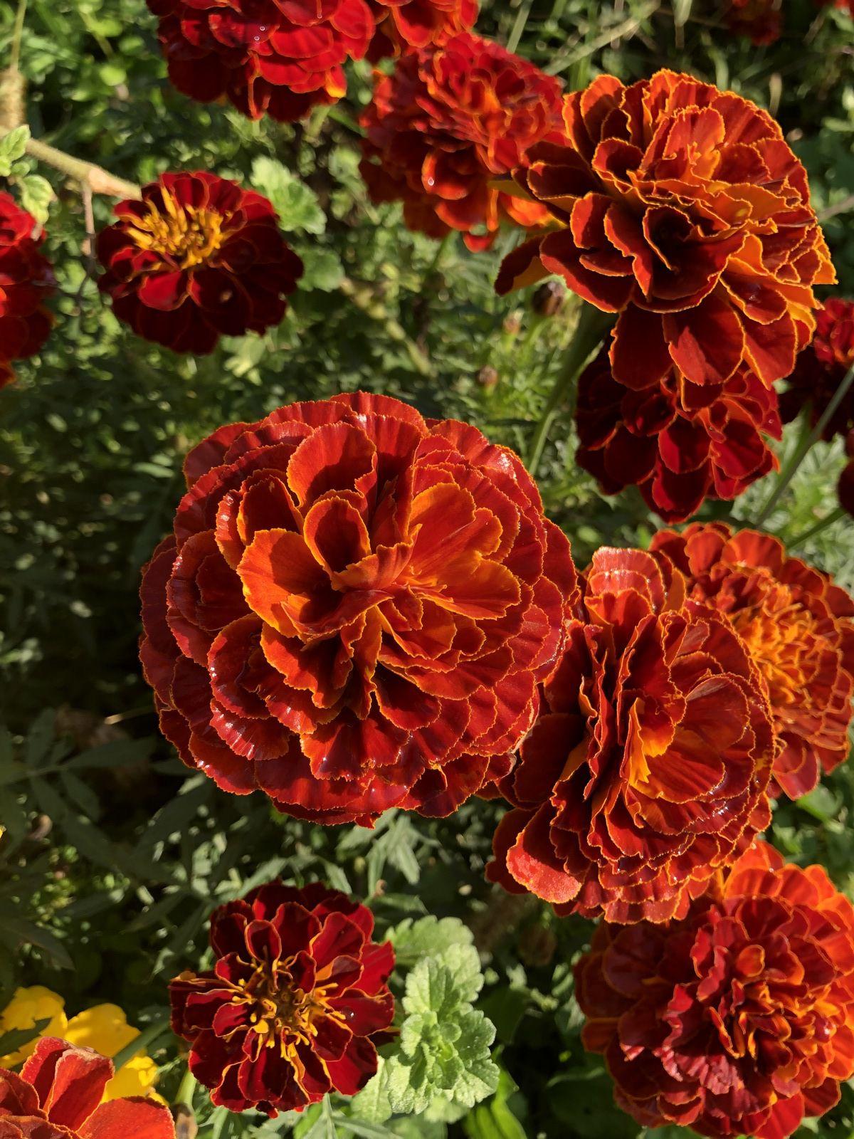 Oeillet d'Inde ou Tagetes patula de son nom latin. Famille des Asteraceae, la même famille que le bleuet.