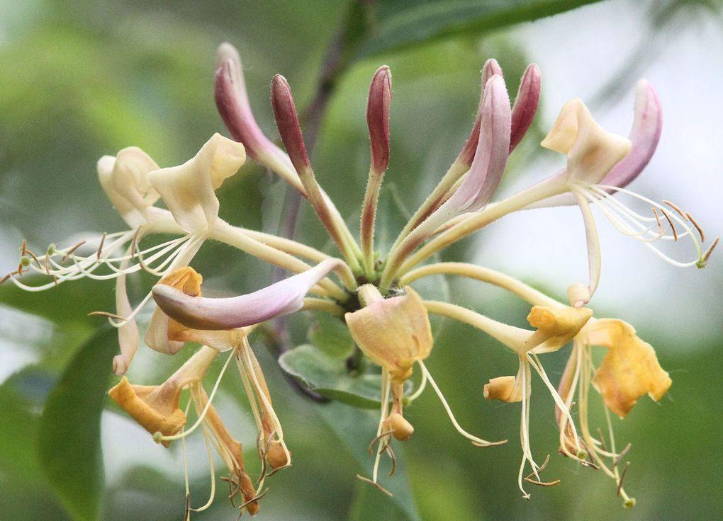 Fleur du jour : le Chevrefeuille des bois