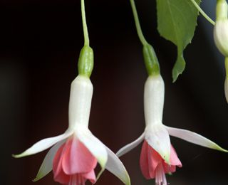 Fuchsia 'Hidcote Beauty'