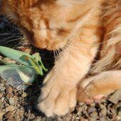Un chaton joue avec une mante religieuse 2ème partie le retour du félin - Autour de