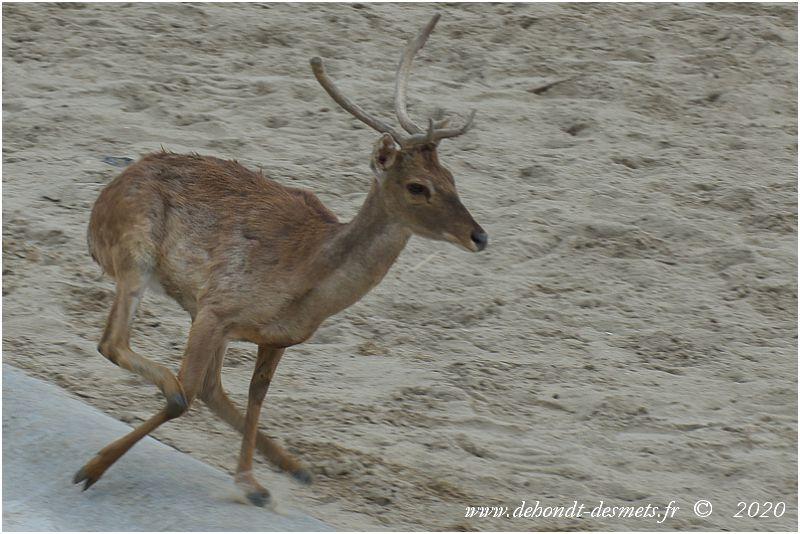 Les pattes élancées et musculeuses du cerf d'Eld sont très bien adaptées aux courses rapides et aux bonds.