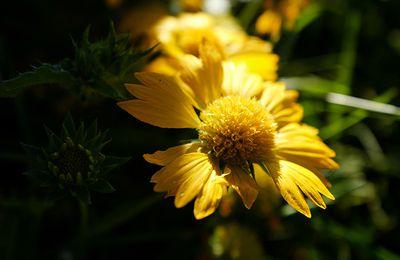 Comprendre les fleurs jaunes