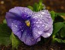 Fleur mouillée