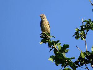 Comme beaucoup d'autres oiseaux vivant dans un environnement agricole, sa population connaît un fort déclin, due aux méthodes agricoles modernes… Photos : JLS (Cliquez pour agrandir)