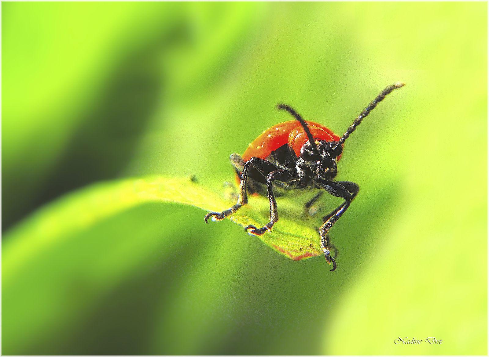 Le criocère du lis (Lilioceris lilii) - Chrysomèle - Coléoptère - (Sarthe)