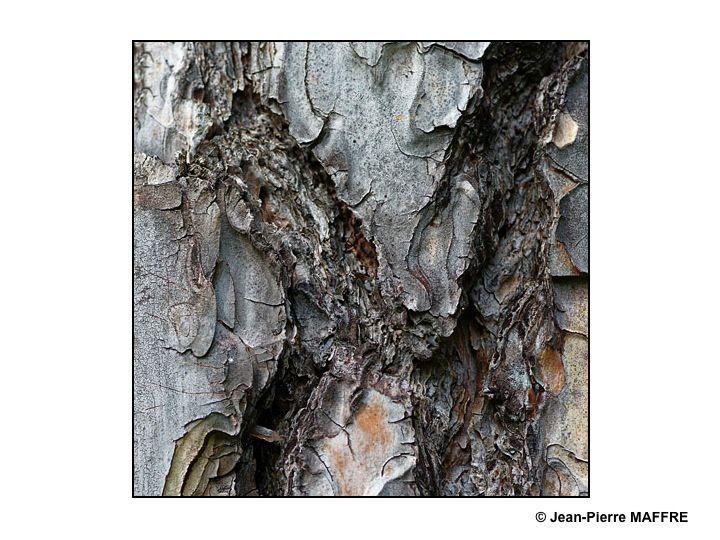 Sous le soleil, les écorces des troncs de platanes forment des motifs qui font penser aux éléments d'un puzzle.