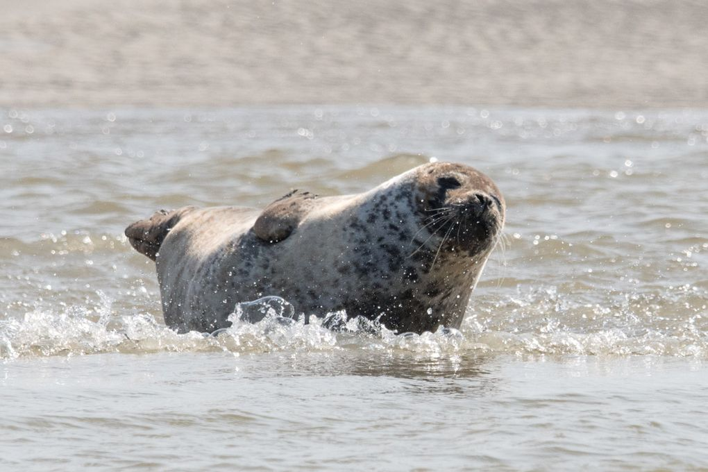 BAIE DE SOMME : à la rencontre des phoques
