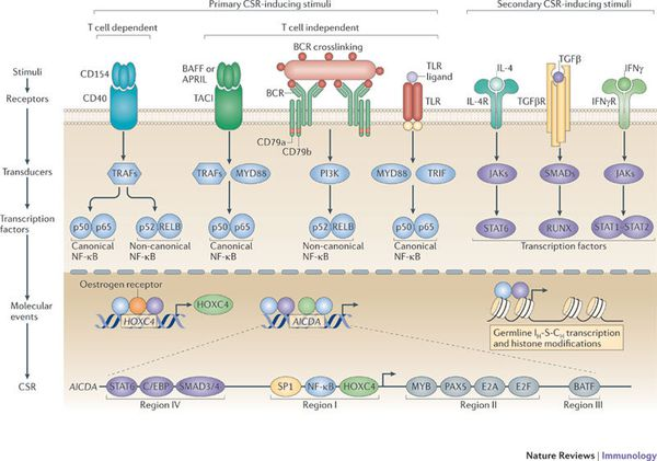 CSR-inducing stimuli and the interplay of transcription factors.