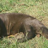 Espèces menacées : La loutre géante - coco Magnanville