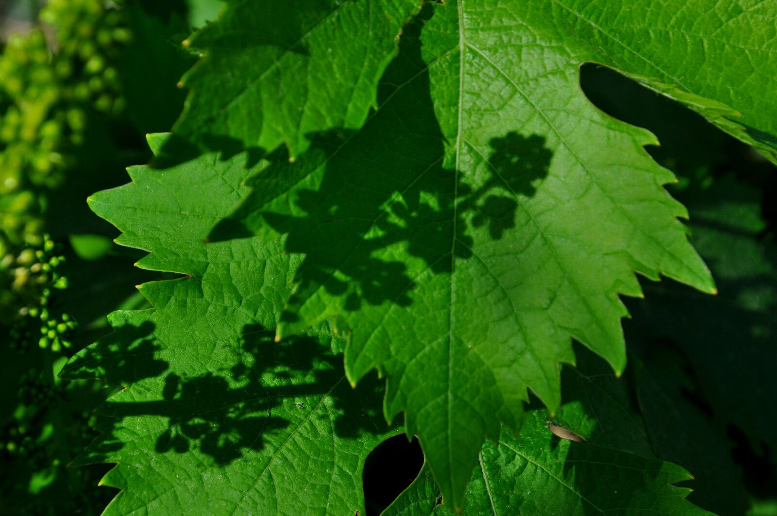 La vigne est en fleurs actuellement à Millas et au domaine Carle Courty