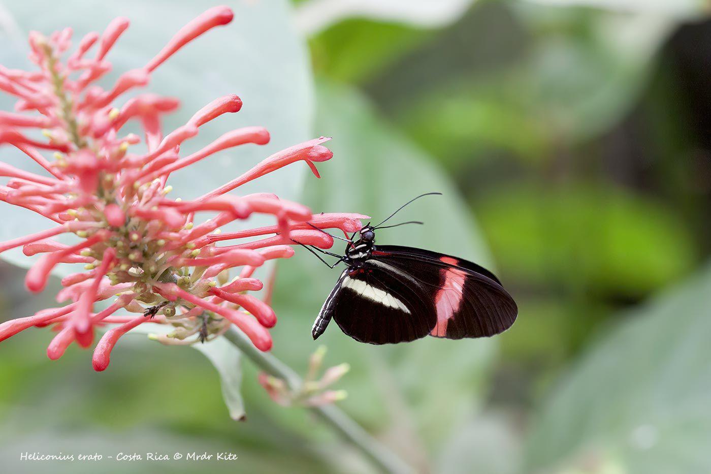 Heliconiidae