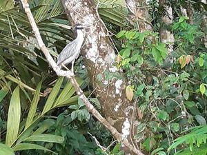 Les différents oiseaux que nous avons vue. Impossible de vous mettre les caïemens