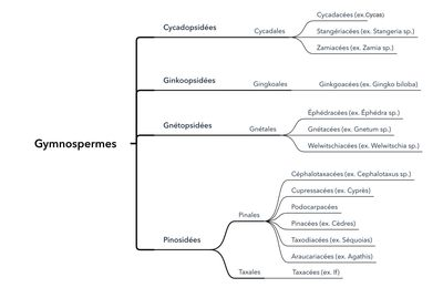 La classification des Gymnospermes