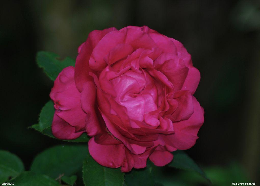 Rosier Rose Lalande de Pomerol® 'delcherot'