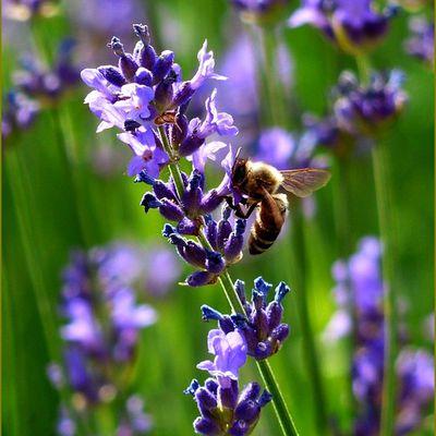 Mythologie des fleurs - La lavande (Lavandula) - le lavandin