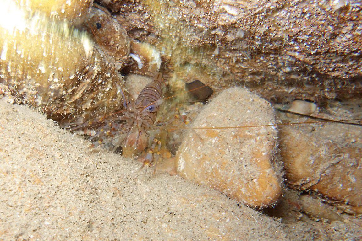... et des (très grosses) crevettes