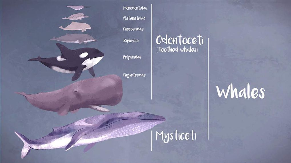"""Screenshot of the short film """"Why do whales sing?"""" from Stephanie Sardelis for TED-Education"""