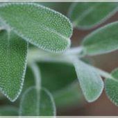 La Sauge ou la plante qui sauve et qui guérit