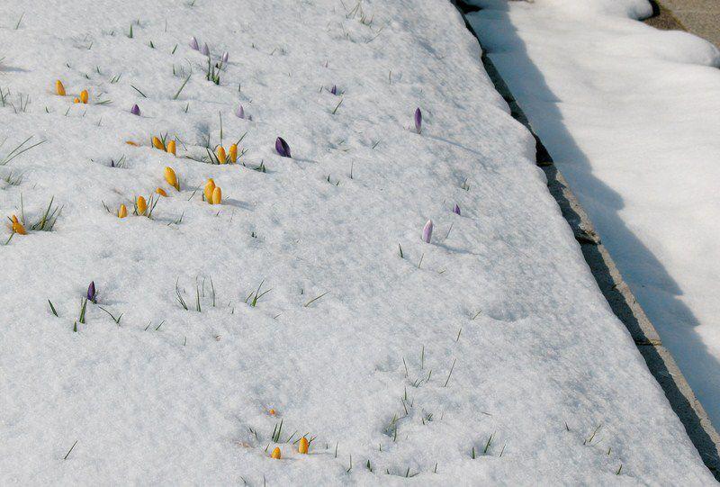 Album - PHOTOS - Crocus in the snow with diamonds