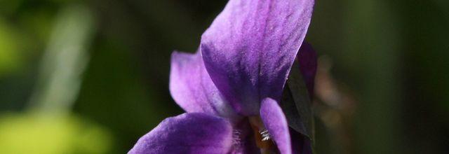 Les violettes...