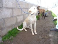 Selly galga beige 1 an claire a l'adoption
