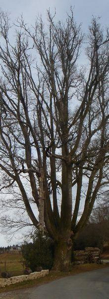 Le chêne de Murat