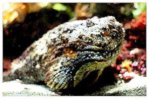 faune : actinoptérygiens : scorpéniformes (poissons)