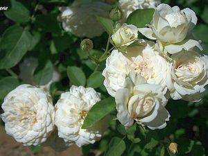 'Elara' chez Isabelle Olikier et 'Queen Elisabeth' au Jardin de Frescati