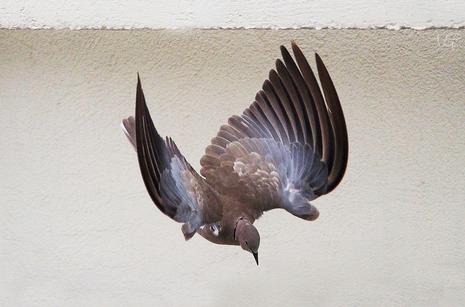 La photo du jour - Tourterelle et des ailes comme des nuages