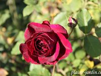Les rosiers en W.