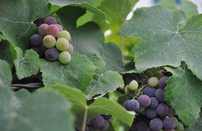 Vagando : Uvas da avó