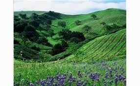Les Vignes de la Baie de San Francisco