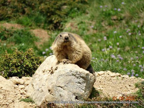 Plein de marmottes ....