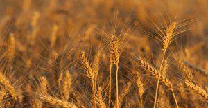 Frumento e riso sfamano il mondo. E il mercato