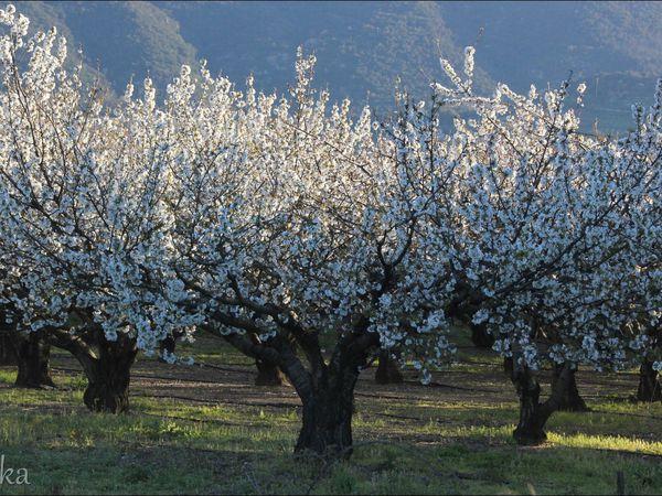 CÉRET (les cerisiers en fleur)