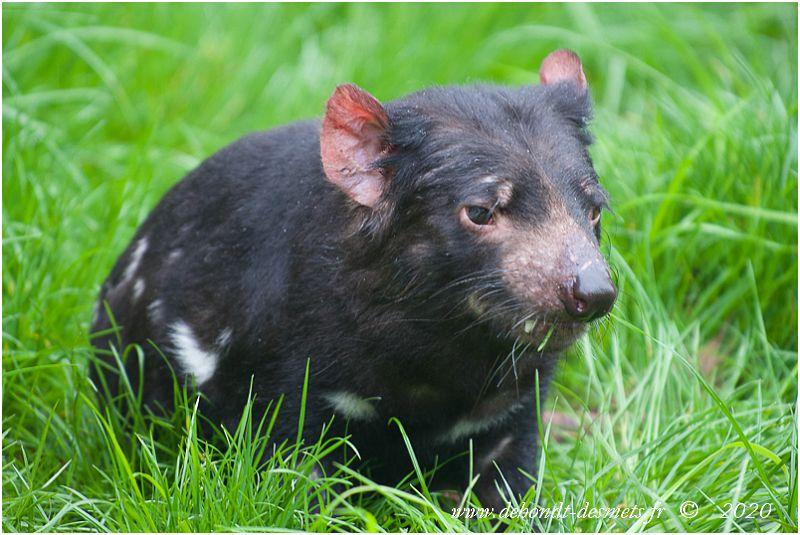 Le diable de Tasmanievit dans tous les types d'habitats, aussi bien les sous-bois que les prairies.