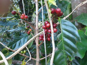 plant de café et un oranger