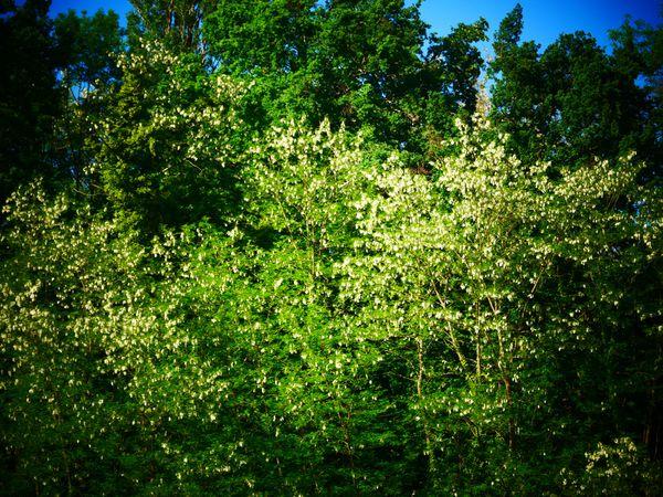 Clichés n°48: Parfum d'acacia au bout du bout du jardin